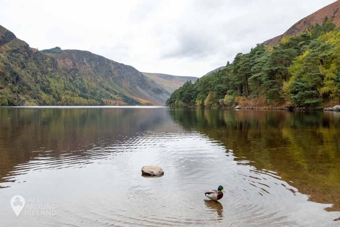 A duck emerging from the Upper Lake in Glendalough