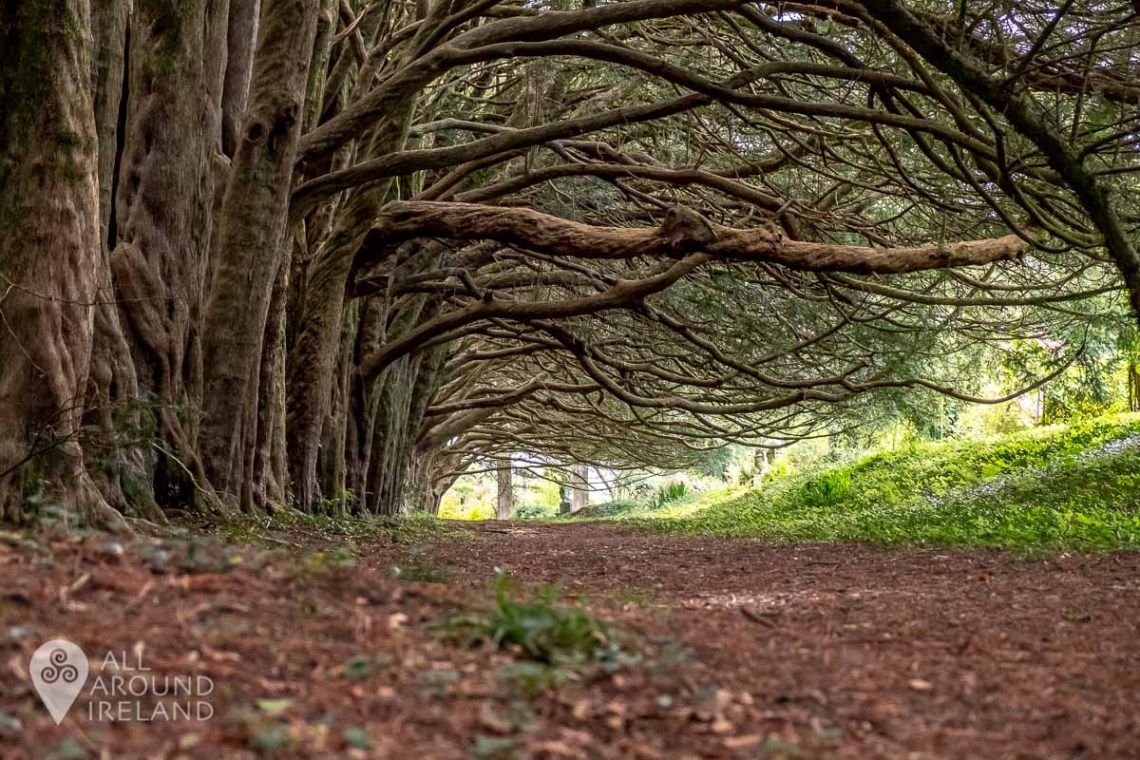 The 500 year old Yew tree walk in the gardens at Huntington Castle form a spectacular archway.