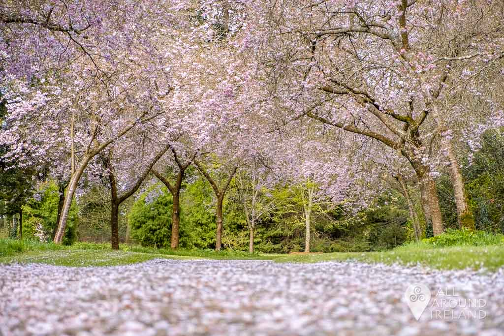 Low angle shot of the cherry blossom trees in Birr Castle Gardens. Fallen petals line the path.