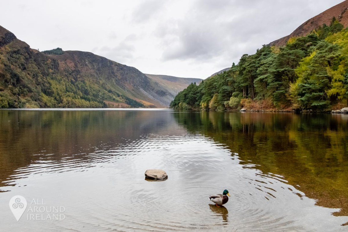 National Parks in Ireland - A duck emerges from the water at Glendalough Upper Lake on a dull overcast day.