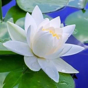 Image result for white lotus