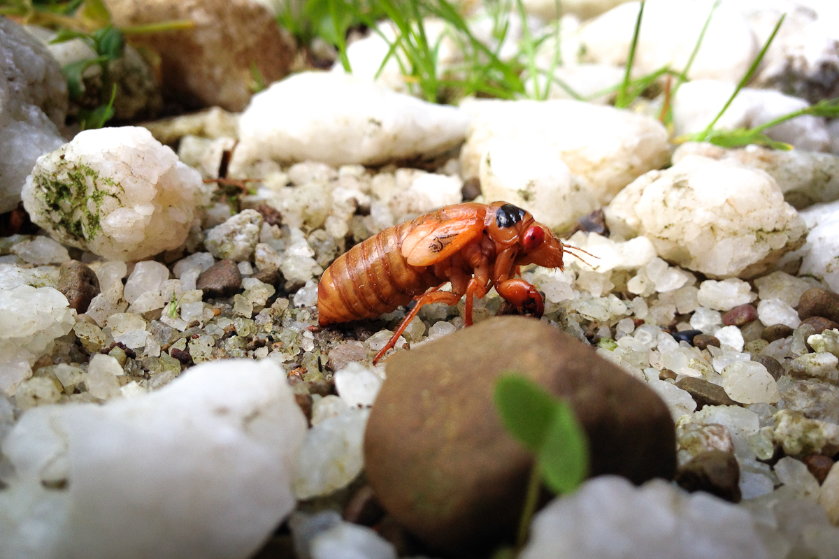 cicada3-2