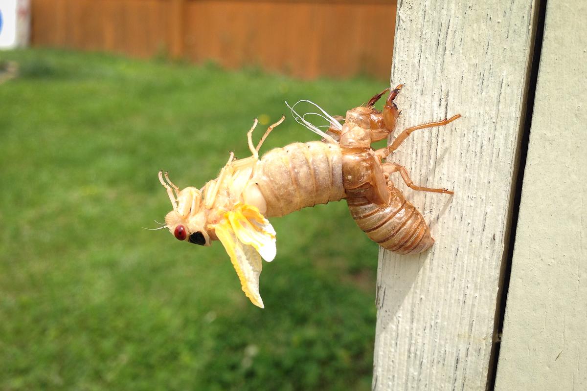 cicada4-2