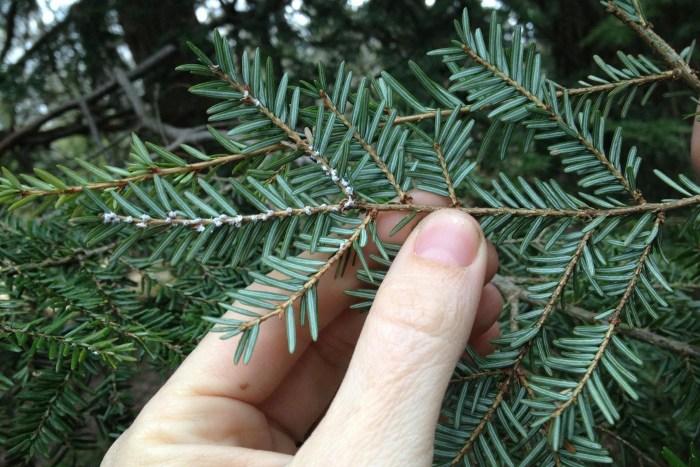 Woolly adelgide on a hemlock tree.
