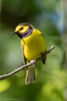 Hooded Warbler. Photo: Dave Brooke