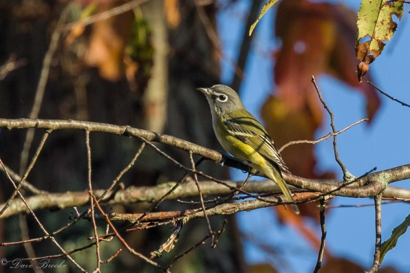 Blue headed Vireo. Photo: Dave Brooke