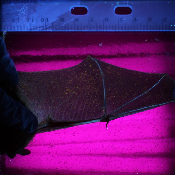 Little brown bat with heavier amount of infection. Photo: Brent Sewall/Temple University