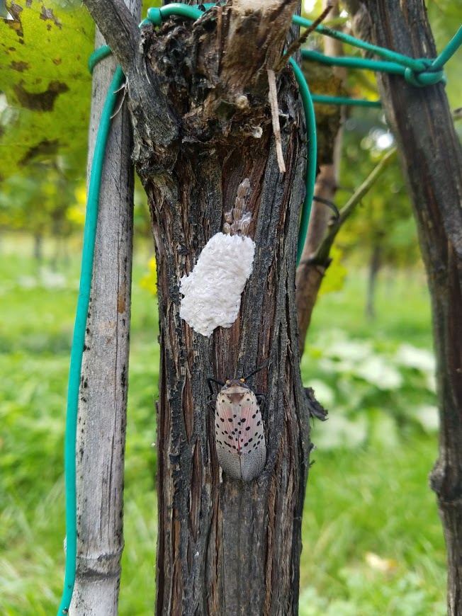 Egg masses and an adult Spotted Lanternfly on a grape vine. Photo courtesy Heather Leach / Penn State Agricultural Extension