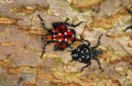 spotted lanternfly nymphs