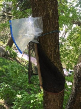 A DIY circle trap secured to a tree.