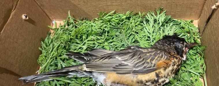 Dead bird with crusty eyes