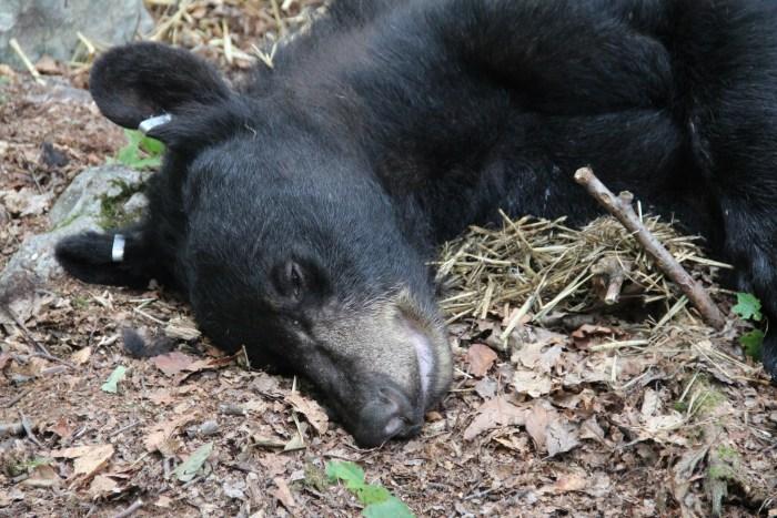 Black bear with ear tags
