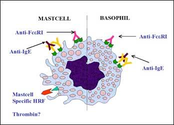 orticaria patogenesi immune
