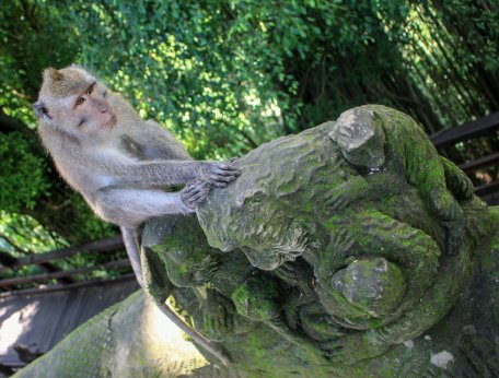 Affe im Affentempel Ubud