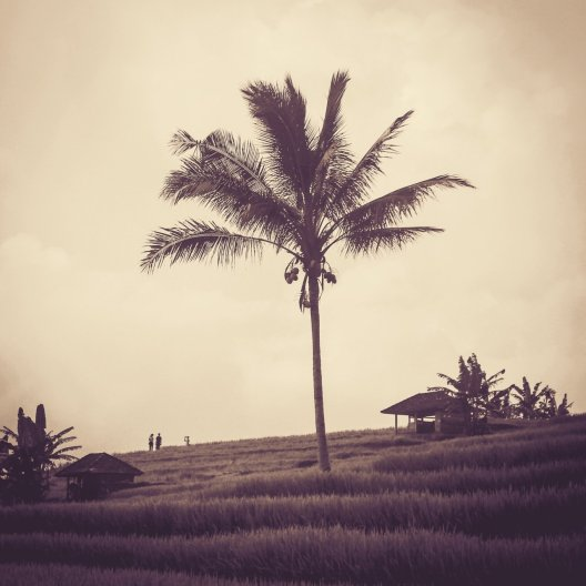 Palme auf einer Reisterrasse bei Jatiluwih