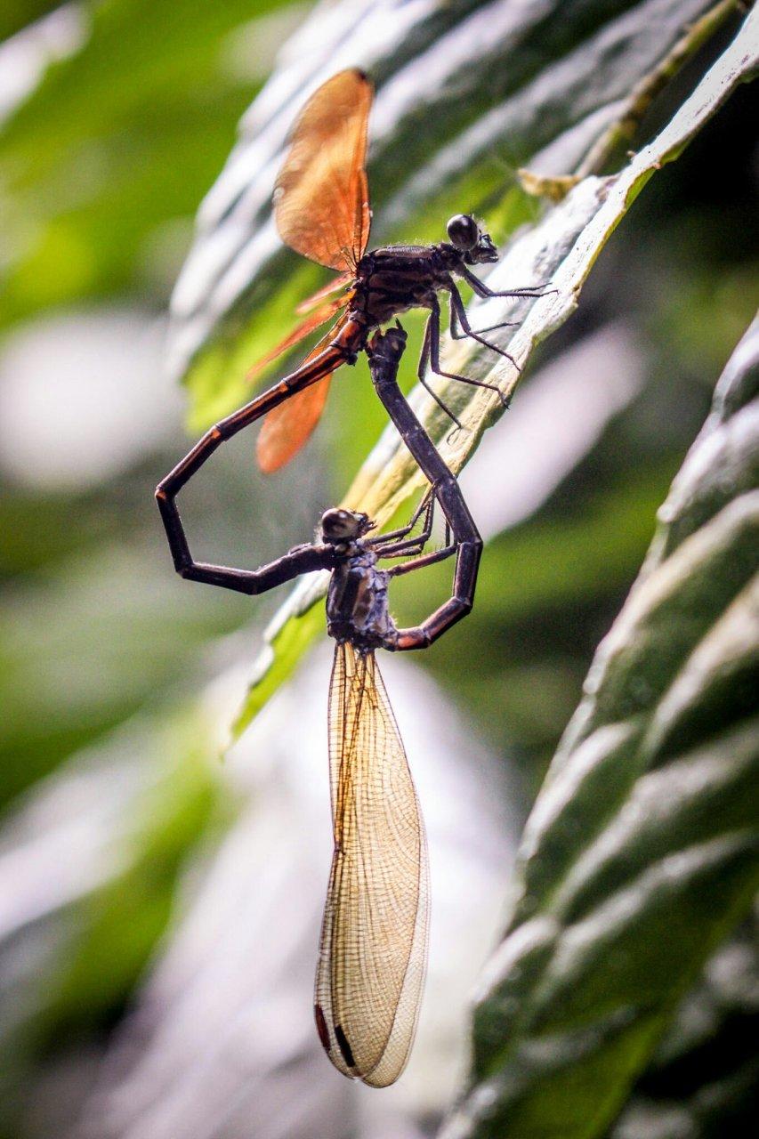 Libellen machen Liebe