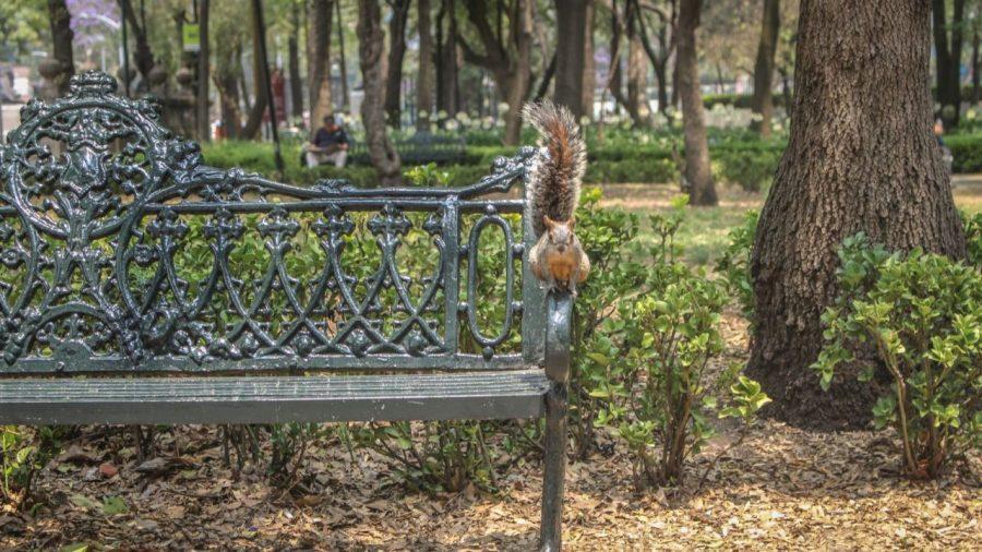 Eichhörnchen in Chapultepec, Mexico City