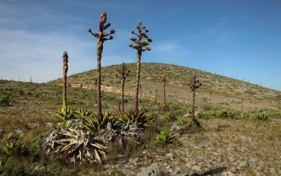 Pflanzen in der Umgebung von Real de Catorce