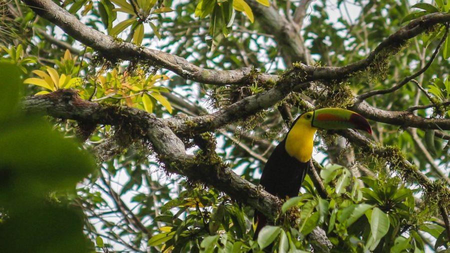Tukan in Tikal