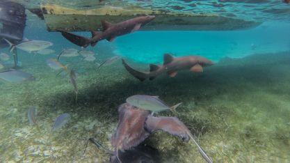 Haie und Rochen in Belize