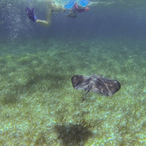 Rochen unter Wasser