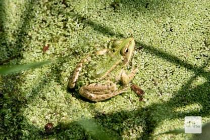 Auch zahlreiche Amphibien fühlen sich in Münsters Abwässern wohl. (Foto: Michael Bührke)