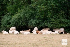 Kühe, aus dem Münsterland nicht wegzudenken. (Foto: Michael Bührke)