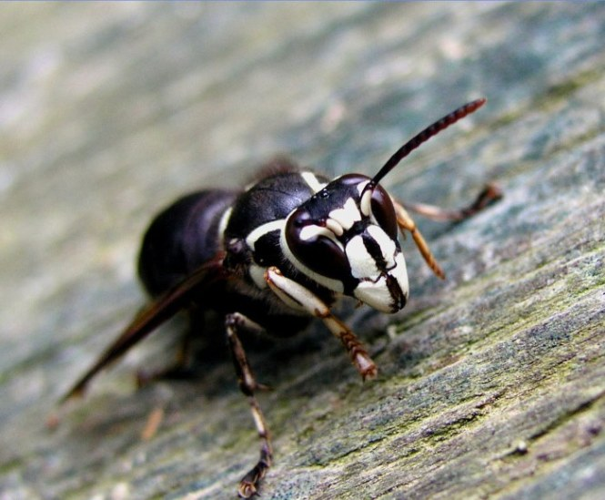 Bald faced hornet - TOP 10 MOST PAINFUL INSECT BITES