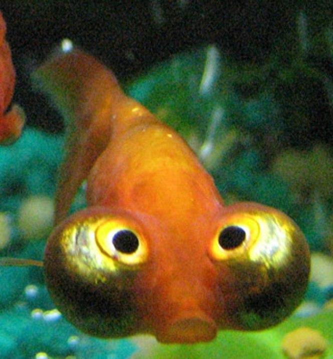Hemelkijker - TOP 10 Animals With Bizarre Big Eyes