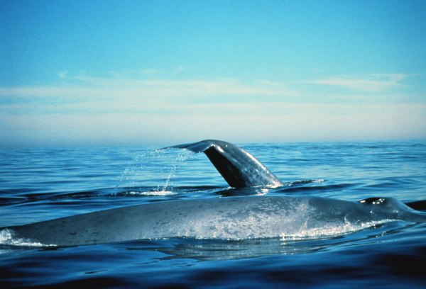 blauwe vinvis zwemmen - TOP 10 AMAZING BLUE WHALE FACTS THE BIGGEST ANIMAL ON EARTH