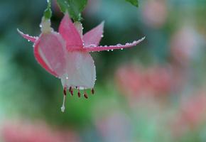 Цветы, розовые, капли, бутон, макро, роса, фуксия