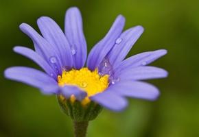 цветок, чашечка, лепестки, фиолетовые, зеленый фон, капельки