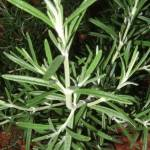 healthy growing rosemary leaves