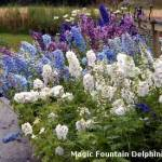 magic fountain delphiniums
