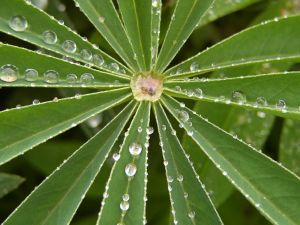 lupin leaf repelling water