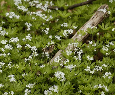 sweet woodruff flowers with butterfly