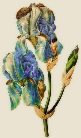 vintage iris botanical print