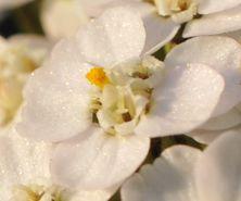single yarrow flower
