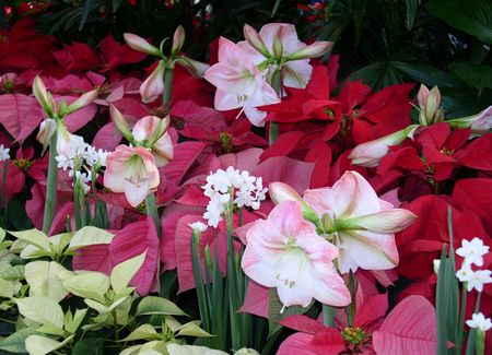 Christmas amaryllis