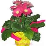 gerbera daisies in a pot