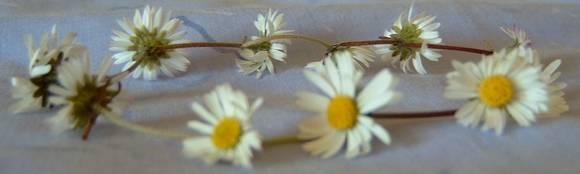 closeup view of daisy chain