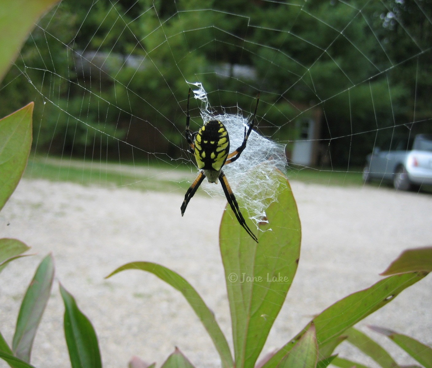 common garden spider on a peony