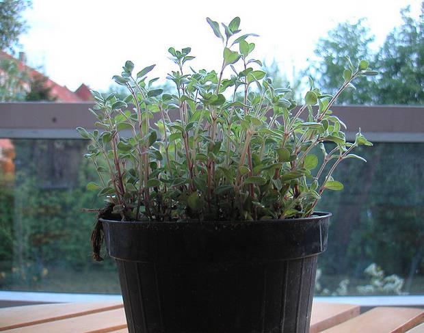 oregano growing indoors