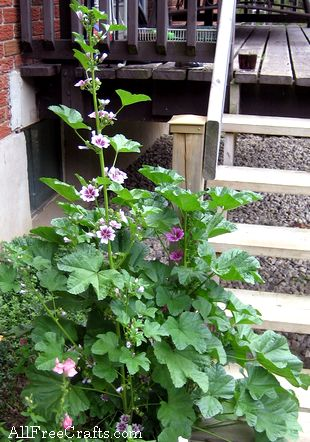 Two Malva Zebrina plants, vying for space.