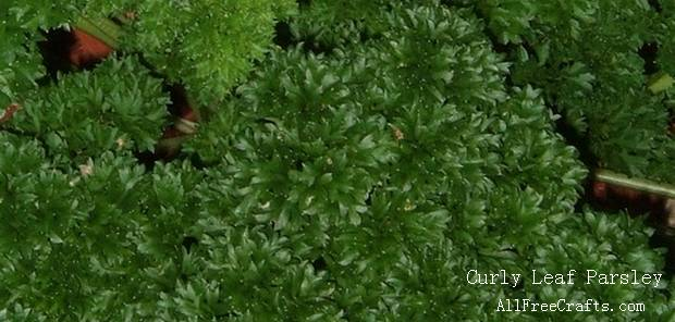 curly leaf parsley growing outside