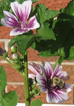 white and purple magenta malva flowers with bee