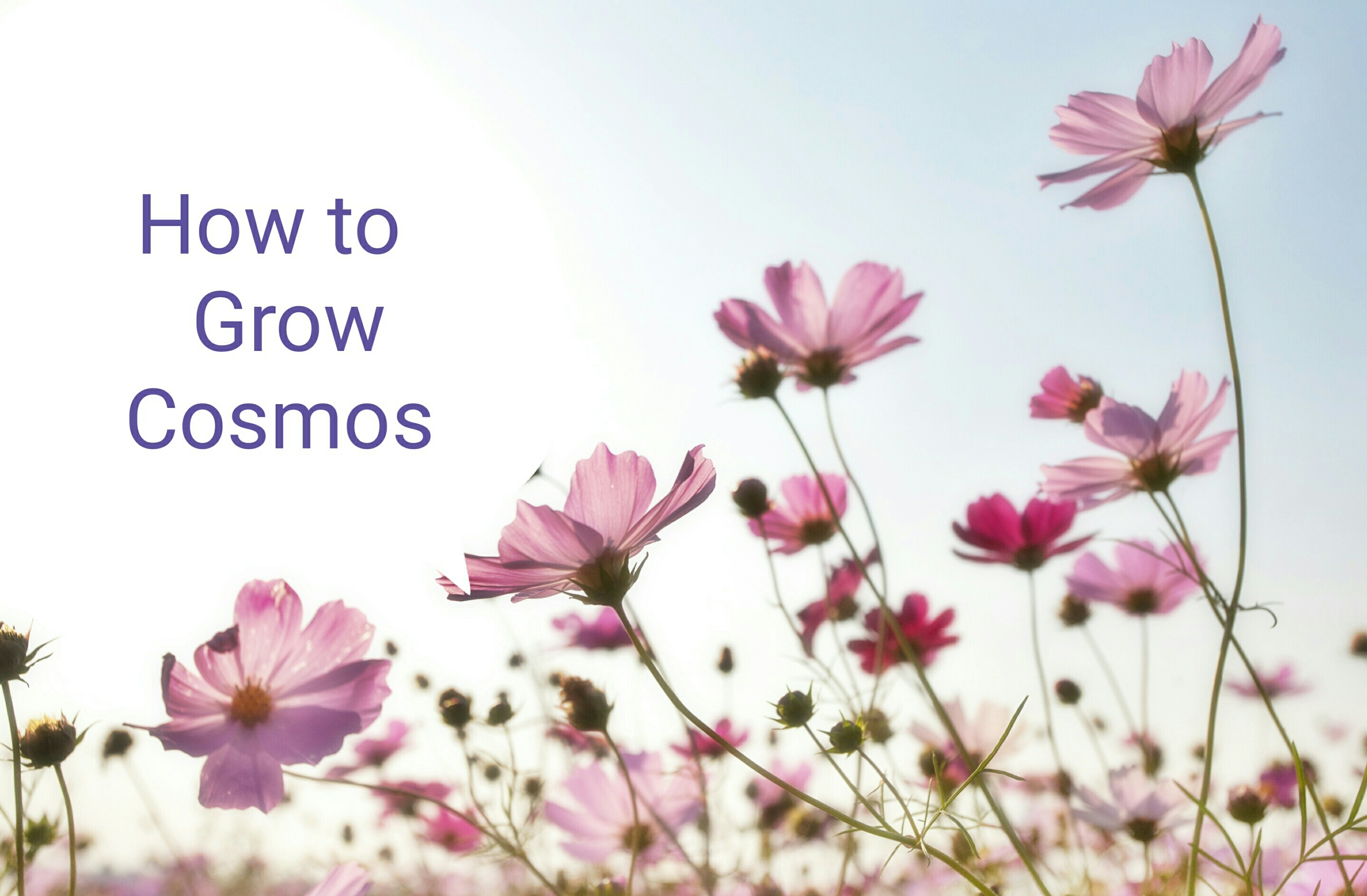how to grow cosmos from seed