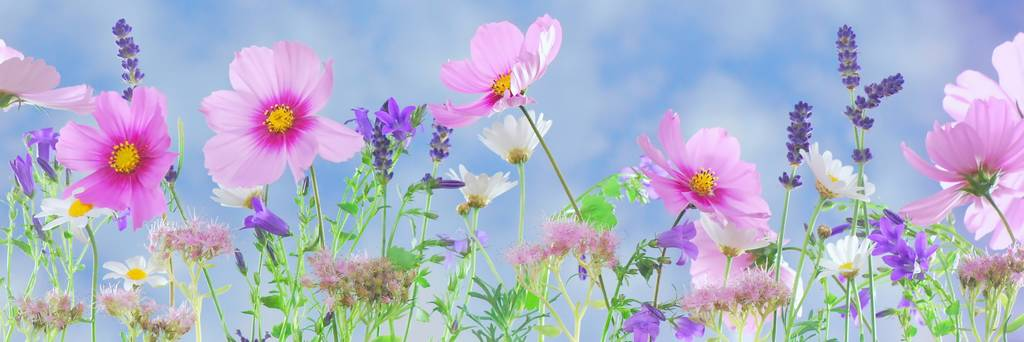 assorted cosmos flowers