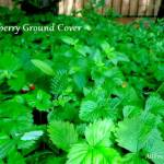 wild strawberries grown as ground cover