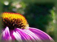 pconeflower